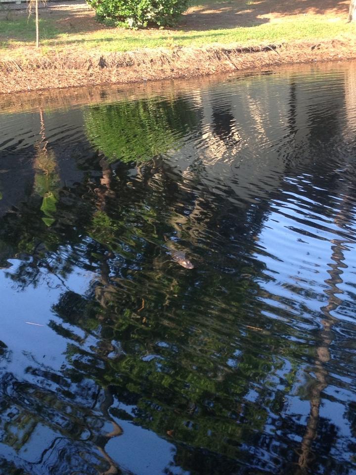 Hilton Head gator